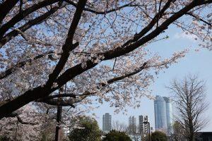 桜とヒルズの景観